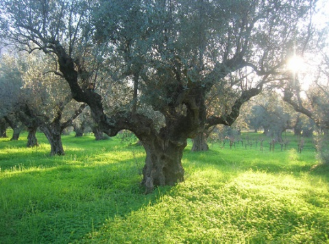 100 years old olive tree