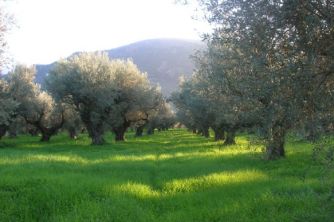 olive trees field