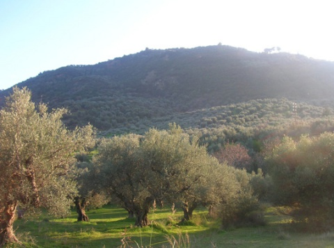 Hill of olive trees