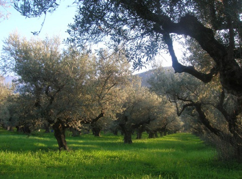 over 100 years old olive trees