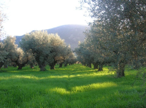 olive trees yards