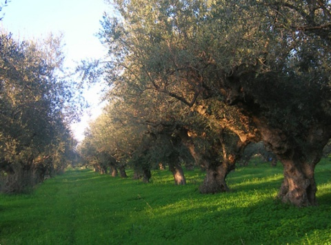 tuft of olive trees